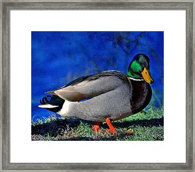 Male Mallard Duck Framed Print by David Simons