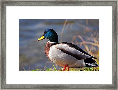 Male Mallard Duck Framed Print