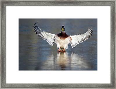 Male Mallard Landing On Water Framed Print by Bildagentur-online/mcphoto-rolfes