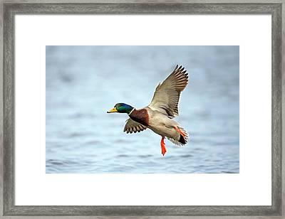 Male Mallard Landing On Water Framed Print by Bildagentur-online/mcphoto-schulz
