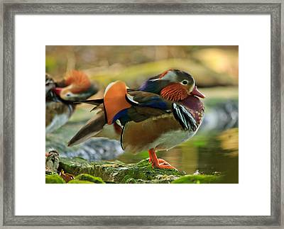 Framed Print featuring the photograph Male Mandarin Duck On A Rock by Eti Reid