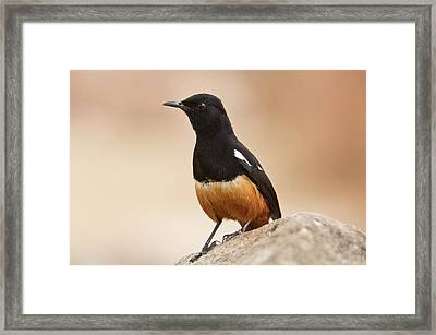 Male Mocking Cliff Chat Framed Print by Bob Gibbons
