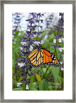Framed Print featuring the photograph Male Monarch Butterfly  by Eva Kaufman