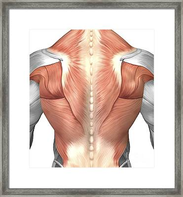 Male Muscle Anatomy Of The Human Back Framed Print