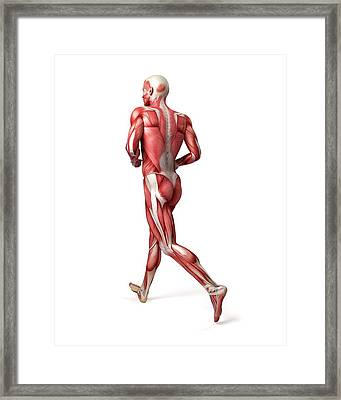Male Muscular System Framed Print