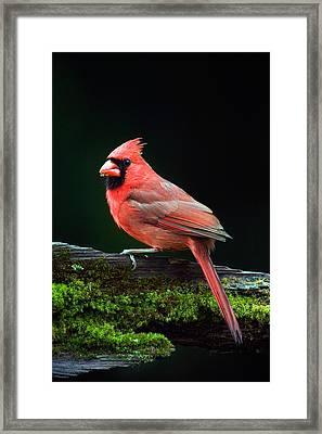 Male Northern Cardinal Cardinalis Framed Print by Panoramic Images