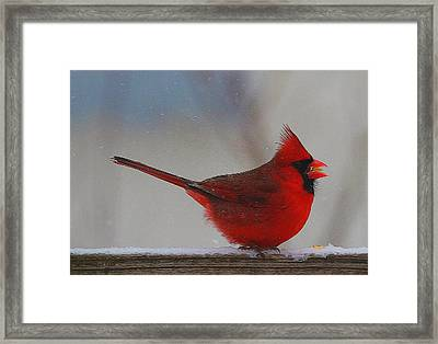 Male Northern Cardinal In Winter Framed Print by Dan Sproul
