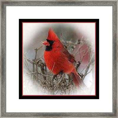 Male Northern Cardinal Framed Print by John Kunze