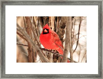 Male Northern Cardinal Framed Print by Michael Allen