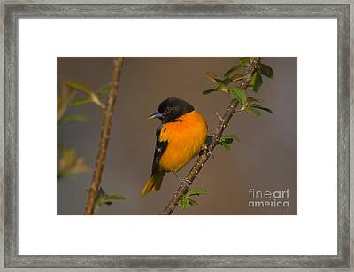 Male Northern Oriole Framed Print by Thomas and Pat Leeson