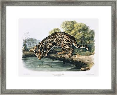 Male Ocelot, Artwork Framed Print by Science Photo Library