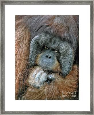 Framed Print featuring the photograph Male Orangutan  by Savannah Gibbs