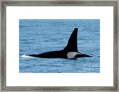 Framed Print featuring the photograph Male Orca Killer Whale In Monterey Bay 2013 by California Views Mr Pat Hathaway Archives