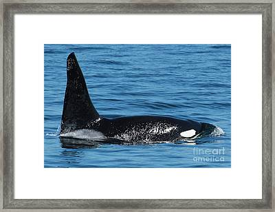 Framed Print featuring the photograph Lonesome George Ca165  Male Orca Killer Whale In Monterey Bay California 2013 by California Views Mr Pat Hathaway Archives