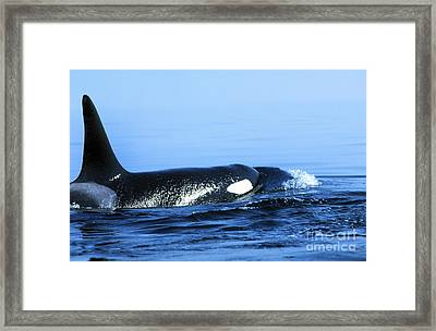 Framed Print featuring the photograph Male Orca Off The San Juan Islands Washington 1986 by California Views Mr Pat Hathaway Archives