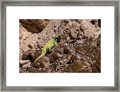 Male Ornate Mastigure (uromastyx Ornata) Framed Print by Photostock-israel