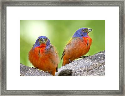 Male Painting Buntings Framed Print by Bonnie Barry