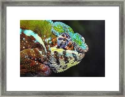 Male Panther Chameleon Furcifer Framed Print by Thomas Kitchin & Victoria Hurst