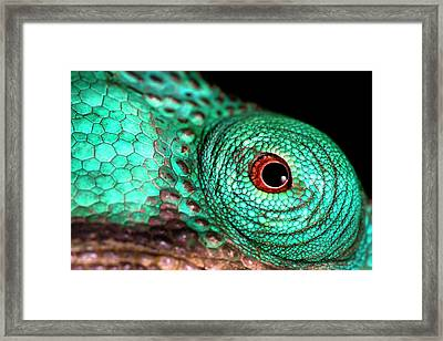 Male Parson's Chaemeleon Eye Framed Print by Alex Hyde