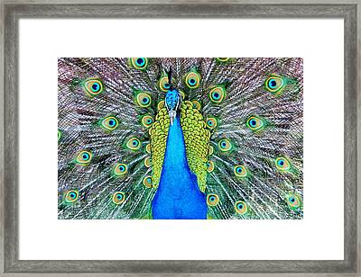 Male Peacock Framed Print