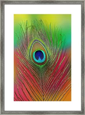 Male Peacock Display Tail Feathers Framed Print by Darrell Gulin
