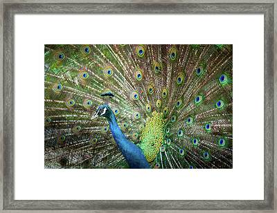 Male Peacock Displaying Framed Print by Pan Xunbin