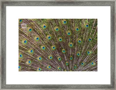 Male Peacock With Fanned Out Tail Framed Print