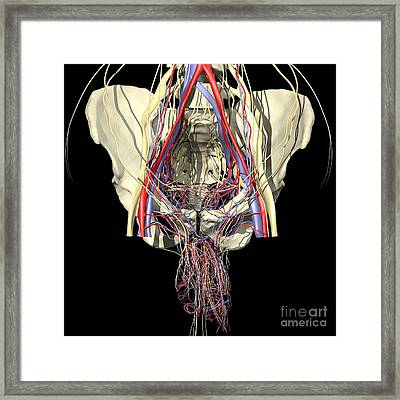 Male Pelvis Framed Print