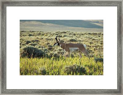Male Pronghorn Framed Print by Jim West