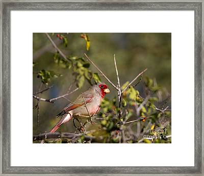 Pyrrhuloxia In Autumn Framed Print