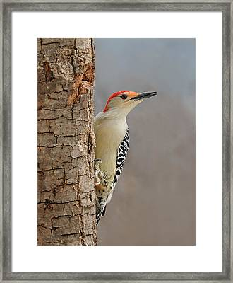 Male Redbellied Woodpecker 1 Framed Print