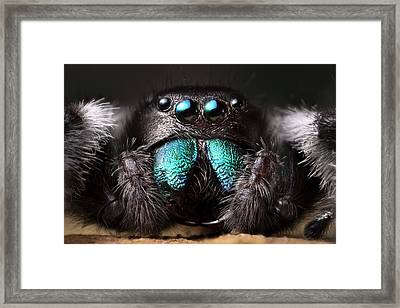 Male Regal Jumping Spider Framed Print by Alex Hyde