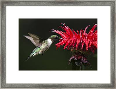 Male Ruby-throated Hummingbird With Red Flower Framed Print
