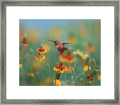 Male Rufous Hummingbird (selasphorus Framed Print