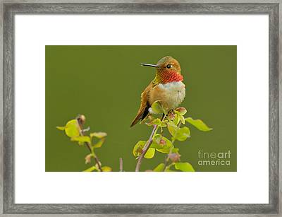 Male Rufous Hummingbird Framed Print by Tom and Pat Leeson