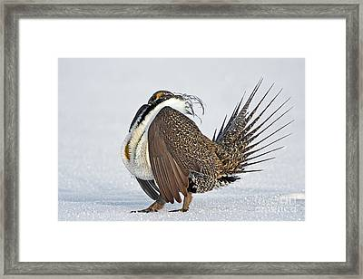 Male Sage Grouse Framed Print