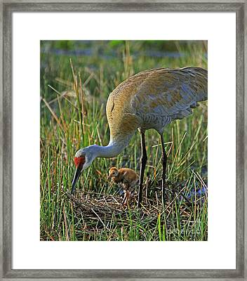 Male Sandhill With 4 Day Old Chick Framed Print by Larry Nieland