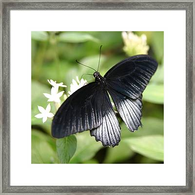 Male Scarlet Swallowtail Framed Print