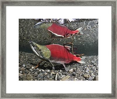 Male Sockeye Salmon On Spawning Framed Print by Thomas Kline