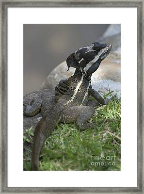 Male Striped Basilisk Framed Print by Heiko Koehrer-Wagner
