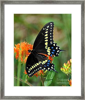 Male Swallow Tail Framed Print
