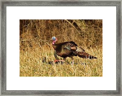 Male Tom Turkey In Breeding Plumage Framed Print