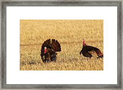 Male Tom Turkeys In Breeding Plumage Framed Print