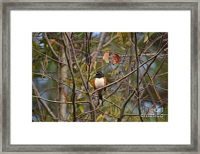 Male Towhee Framed Print by Kathy Gibbons