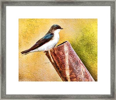 Male Tree Swallow No. 2 Framed Print