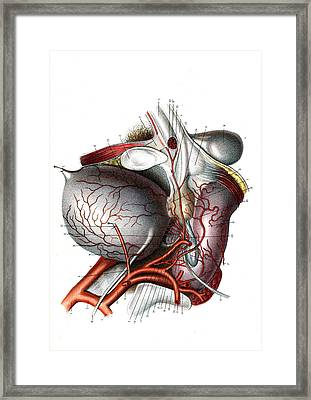 Male Urogenital System Framed Print by Collection Abecasis