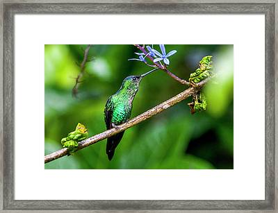 Male Violet-capped Woodnymph Thalurania Framed Print