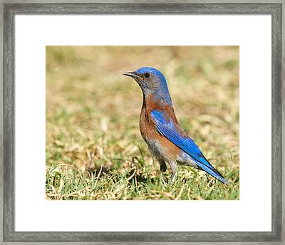 Male Western Bluebird Framed Print