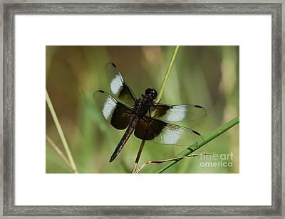 Male Widow Skimmer Dragonfly Framed Print