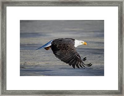 Male Wild Bald Eagle Ready To Land Framed Print by Eti Reid